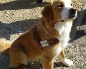 photo d'un chien guide